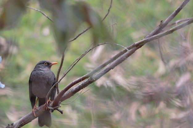 Great thrush (turdus fuscater) in piedi sul ramo nella foresta