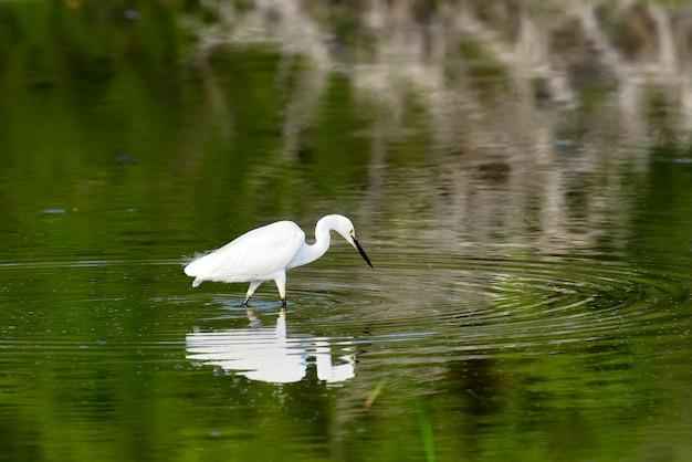 Airone bianco maggiore si trova nello stagno della fauna selvatica