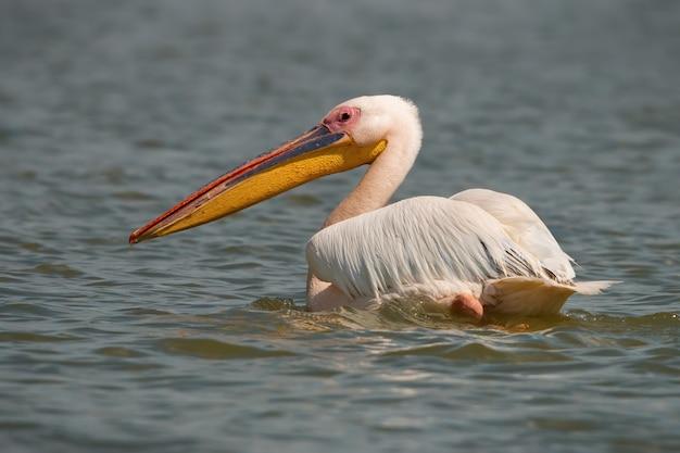 Grande pellicano bianco che galleggia sull'acqua e si guarda alle spalle