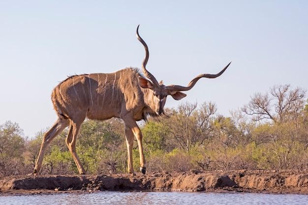 Maschio maggiore kudu al foro per l'acqua botswana, africa