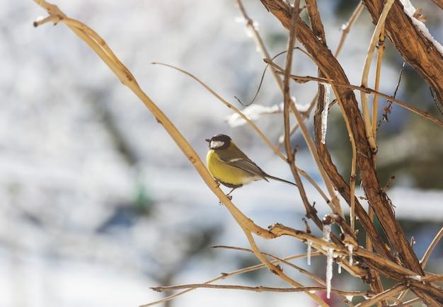 Cincia maggiore uccello seduto su un barattolo di semi. stagione invernale neve fredda