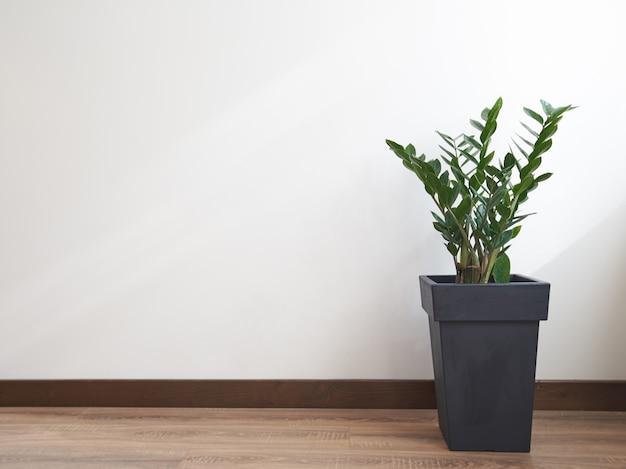 Pianta di gree sopra il muro bianco. zamioculcas zamiifolia