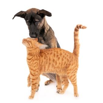 Cucciolo di cane greco insieme a un affettuoso gatto allo zenzero. su bianco.