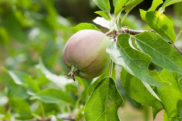 Foglie di mela verde e mele che crescono sul territorio del frutteto. close-up con profondità di campo ridotta.