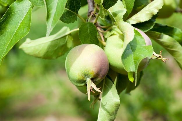 Foglie di mela verde e mele che crescono sul territorio del frutteto.