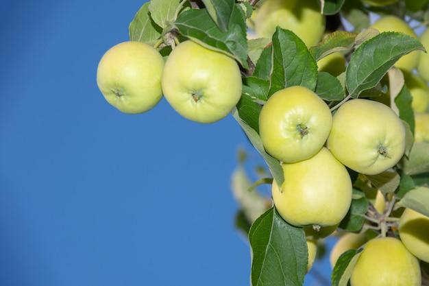 Mele verdi su un ramo pronte per essere raccolte mele verdi fresche su un albero in un giardino estivo