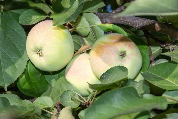 Mele verdi su un ramo pronte per essere raccolte fuoco selettivo mele verdi fresche sull'albero