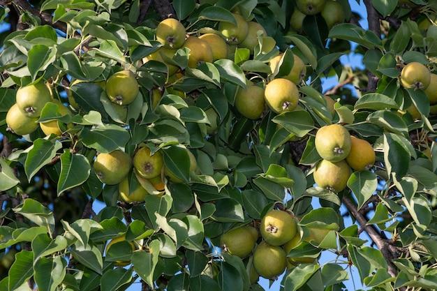 Pere di mele verdi su un ramo pronte per essere raccolte nel giardino estivo