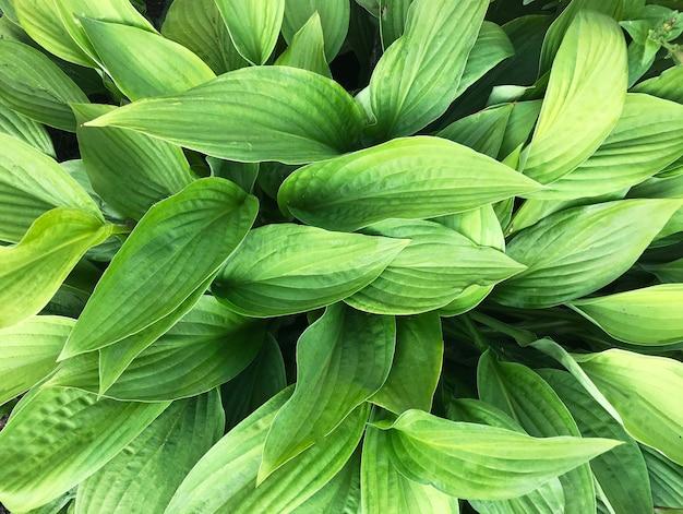 Sfondo verde costituito da foglie di close-up host con messa a fuoco evidenziata.