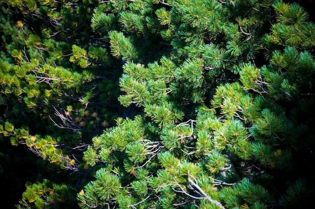 Sfondo verde, pino sullo sfondo