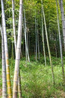 Boschetto di bambù verde nel giardino botanico di batumi, georgia