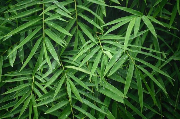 Fogli verdi del bambù con la pioggia