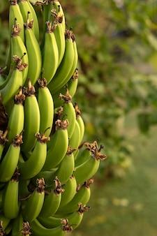 Vista laterale di banane verdi. banane su un albero di banane