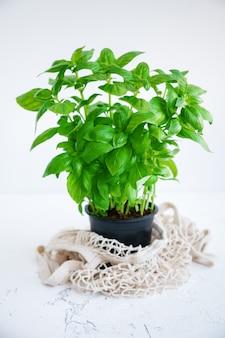 Pianta di basilico verde in vaso nero con un sacchetto di stringa su un bianco.
