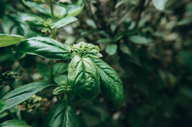 Pianta di basilico verde cresce all'aperto.