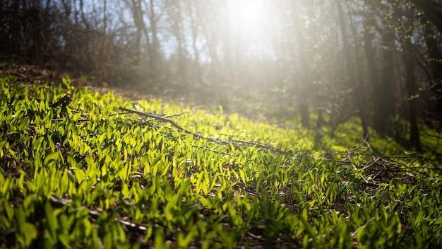 Aglio dell'orso verde che cresce sulla radura nella foresta di primavera retroilluminato dal sole del mattino.