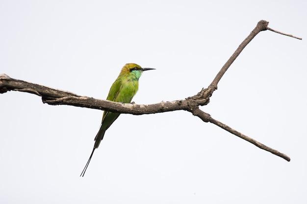 Mangiatore di api verde seduto sulla cima dell'albero e guardandosi intorno