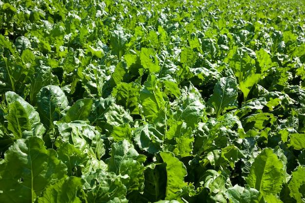 Barbabietola verde per la produzione di zucchero in campo agricolo