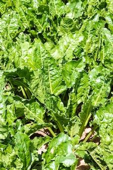 Cime di barbabietole verdi in campo agricolo, estivo, agricolo