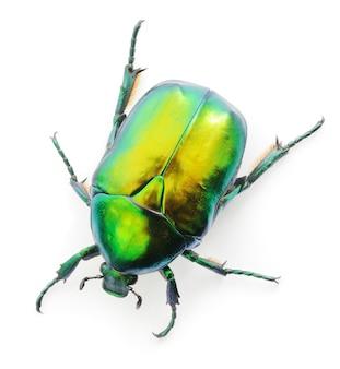 Insetto verde beetle rosa chafer (cetonia aurata) isolato su bianco.