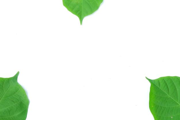 Foglia di bidara verde isolata su sfondo bianco white