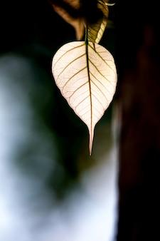 Foglia verde della bo con luce solare di mattina, albero della bo che rappresenta buddismo in tailandia.