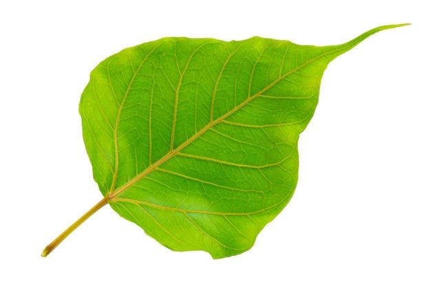 Foglia verde bodhi su una superficie bianca