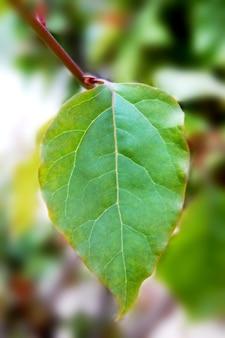 Bodhi verde congedo con sfondo sfocato (noto anche come foglie di pipal e foglie di bo)