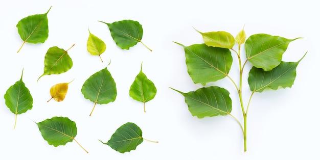 Foglie verdi di bodhi su superficie bianca