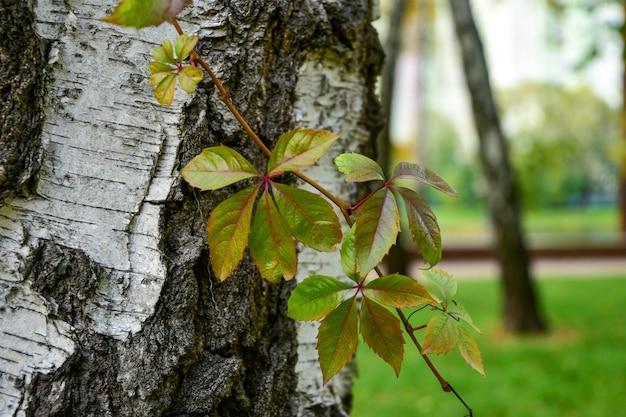Ramo verde di uva selvatica su un albero di betulla.