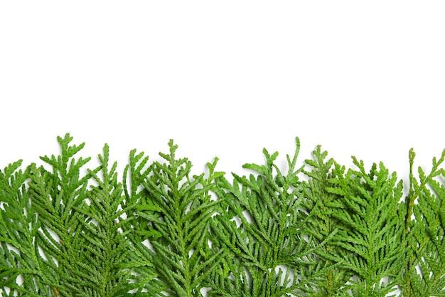 Rami verdi di thuja su un bianco