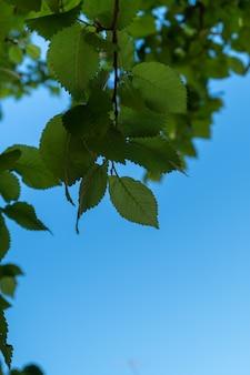 Rami verdi di un albero sullo sfondo del cielo azzurro