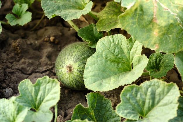Foglie verde intenso del cespuglio e frutti dell'anguria