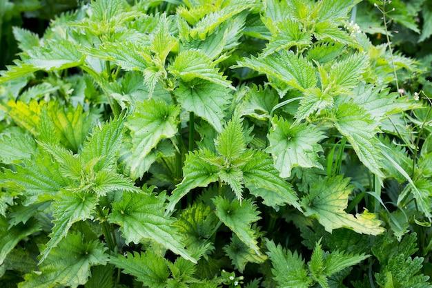 Ortica verde cespuglio, vista dall'alto. l'ortica è una pianta medicinale_