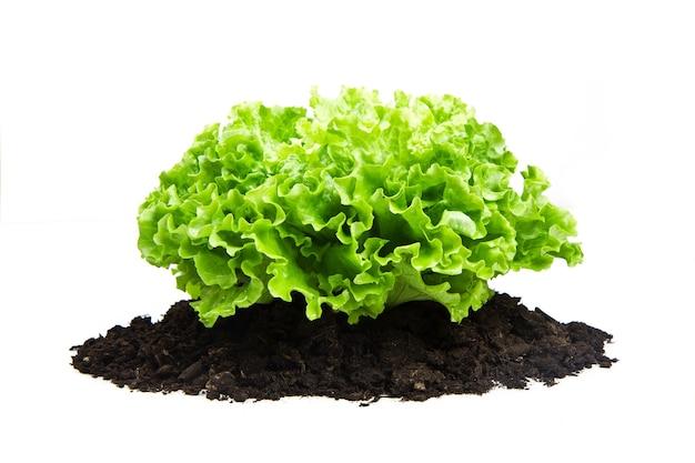 Cespuglio verde di insalata sul letto di humus del suolo isolato