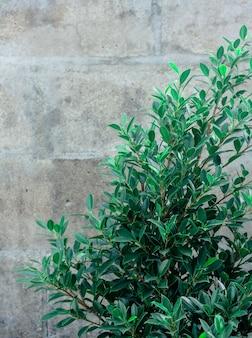 Cespuglio verde con il vecchio fondo del muro di cemento