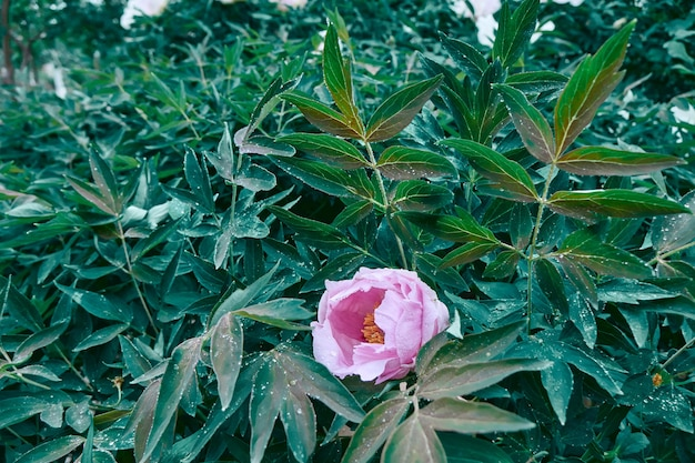 Cespuglio verde con un fiore di pionia con gocce d'acqua dopo la pioggia in giardino. bellissimo layout naturale