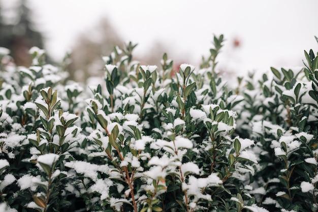 Cespugli verdi ricoperti di neve bianca in un gelido parco invernale.