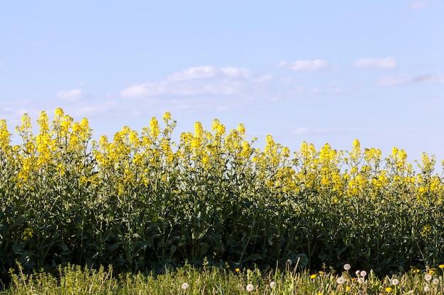 Cespugli verdi con fiori di colza gialli su un campo agricolo in primavera