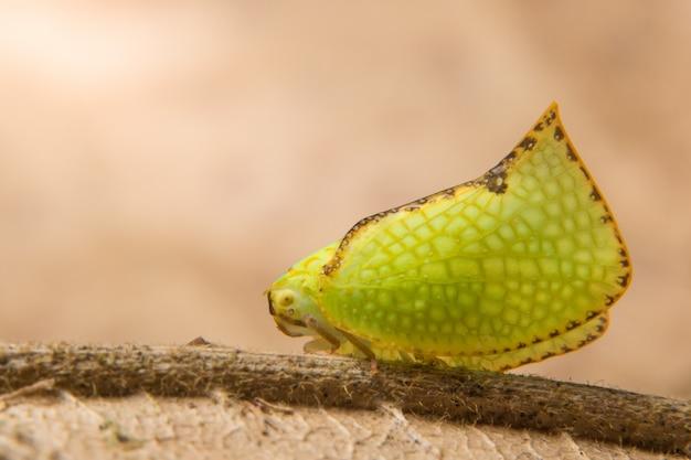 Macro farfalla verde