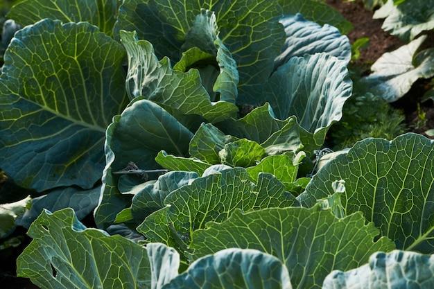 Sfondo di foglie di cavolo verde. campo di cavolo fresco, primo piano. agricoltura, allevamento e giardinaggio