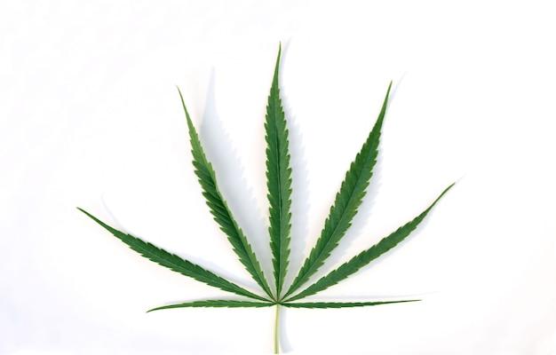 Foglie di cannabis sativa verde su bianco. coltivazione di marijuana medica. Foto Premium