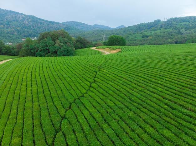 Cascate verdi di piantagioni di tè in alta montagna. cespugli di tè verde in una fattoria a sochi