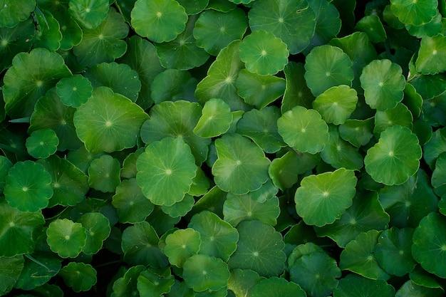 Sfondo verde di centella asiatica