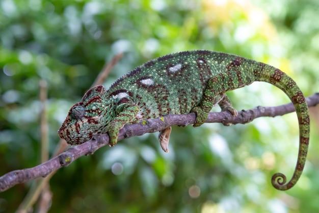 Camaleonte verde su un ramo in natura