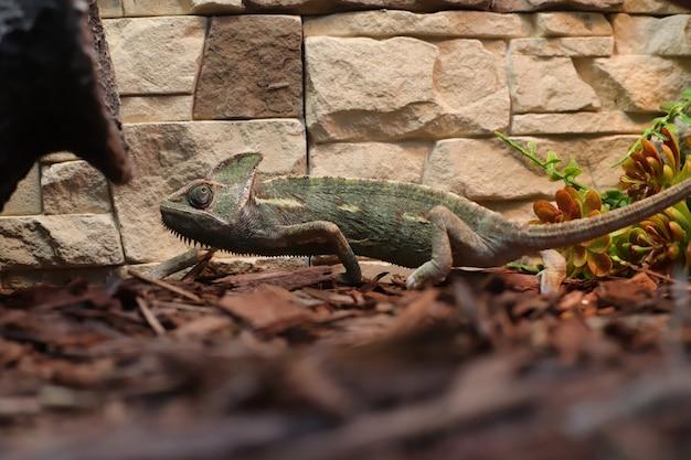 Camaleonte verde in macchie sul terrario. animali, cordati, rettili, squamose