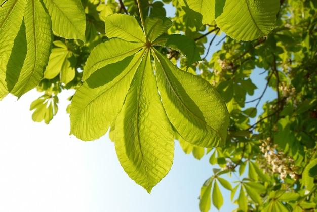 Foglie di castagno verde con cielo blu soleggiato.