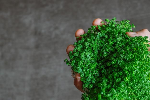 Germogli di chia verdi sulla mano di un uomo su gray
