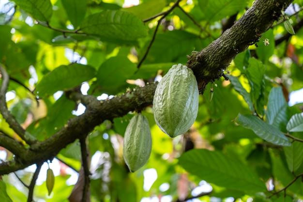 Fave di cacao verdi sull'albero in indonesia, primo piano