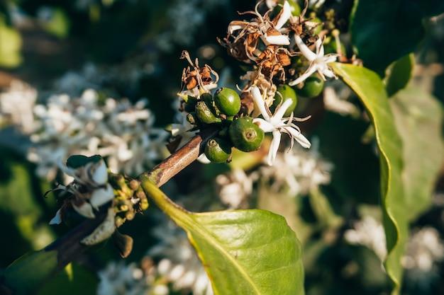 Bacche di caffè verdi con fiori bianchi che sbocciano su un ramo